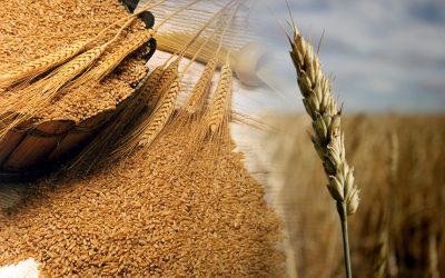 Semeadura do trigo avança na área de ação da Cotrijal